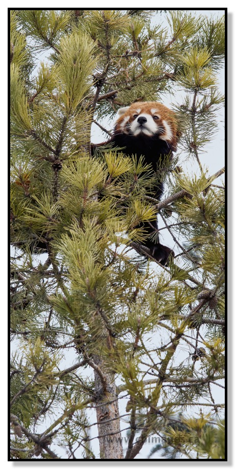 Red Panda in Tree at Calgary Zoo