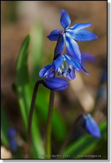 Blue blog blue flower macro spring red deer alberta canada mightylinksfo